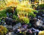 Moss Moss growing on a dry stone wall, Cowley, Gloucestershire
